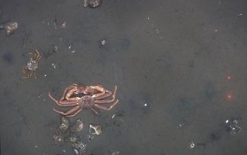 Mating snow crab at Bering Sea trawl survey station K24