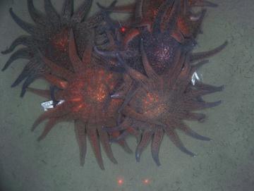 Group of feeding sunflower sea stars, Kodiak