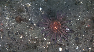 Foraging sunflower sea star on gravelly sand, Kodiak