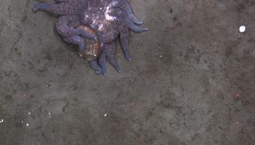 Sunflower sea star with captured weathervane scallop, Kodiak