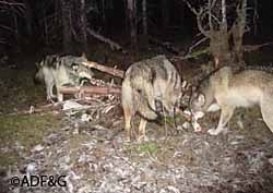 Trail cameras provide candid look at wildlife, Alaska Department ...