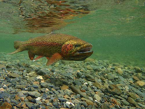 Rainbow connections alaska department of fish and game for How to fish for rainbow trout
