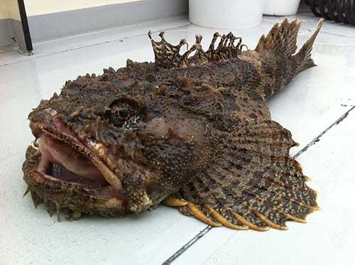 Image Gallery sculpin fish