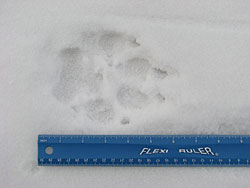 Wolf track in snow