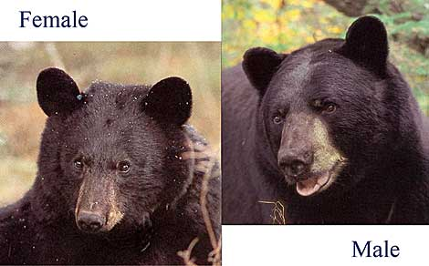 Male and female bears