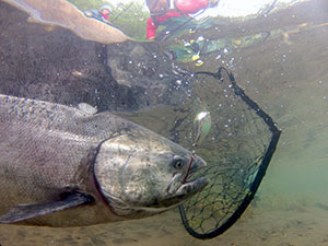 Underwater photo of a Chinook salmon caught with a lure about to be netted