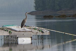 Photo of a blue heron perched on aquatic farming dock