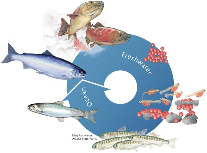 Sockeye salmon life cycle