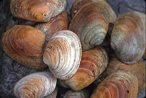 hardshell clams from Lower Cook Inlet