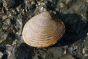 a hardshell clam