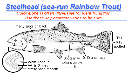 identification graphic -- chinook salmon have spots on both lobes of tail, black tongue, gums