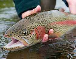 Photo of a rainbow trout