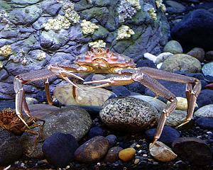 tannerr crab stands on beach rocks