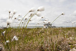 Alaska cotton landscape photo