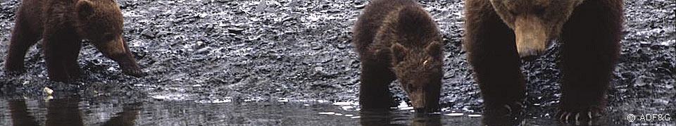 a sow and two cubs stop at the waters edge