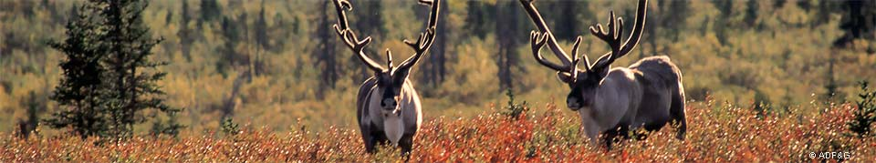 two caribou wander through a colorful fall landscape in Denali National Park