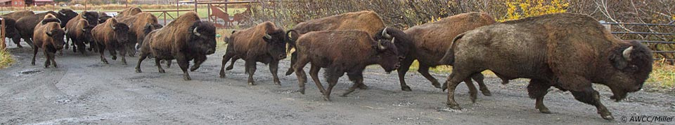 running wood bison