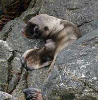 Photo of sea lion pup: taken under NOAA research permit number 14325