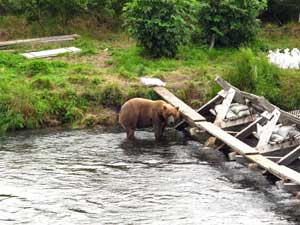 Photo of Bear at Saltery Weir