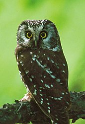 Photo of a boreal owl © Ted Swem