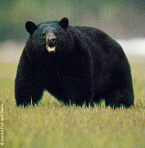 Photo of an adult black bear.