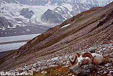 Photo of a dall sheep on the mountainside