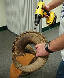 drilling sheep horn plug