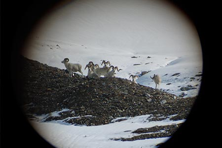 Sheep seen through scope of rifle