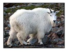 Adult male mountain goat