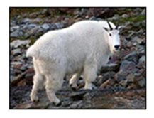 Adult female mountain goat