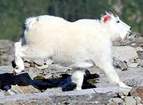 2 year old male mountain goat