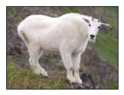 Yearling mountain goat