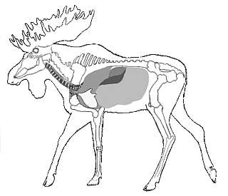 Moose Anatomy Diagram http://www.adfg.alaska.gov/index.cfm?adfg=hunting.shot