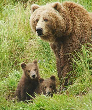 Sow and two cubs - defensive bear