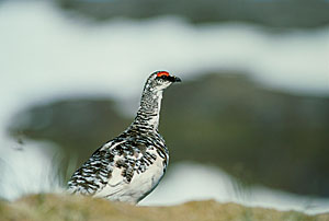 Photo of a rock ptarmigan