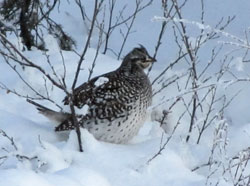 Sharpt-tailed grouse