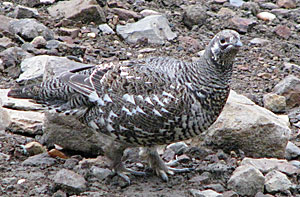 Photo of a spruce grouse