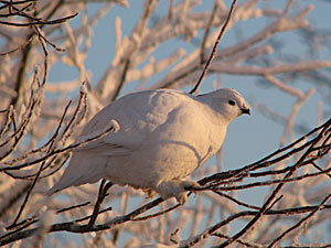 Photo of a willow ptarmigan