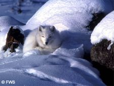 white fox on winter tundra