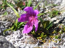 hart rhodo on blooming on tundra