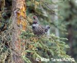 Spruce grouse in boreal forest.