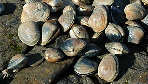 Little Neck Clams on the Shore of Kachemak Bay