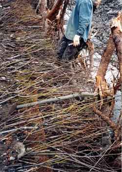 Hedge Brush Layering Streambank Revegetation And