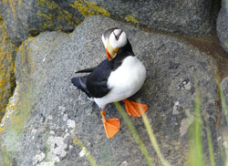 Photo of a puffin
