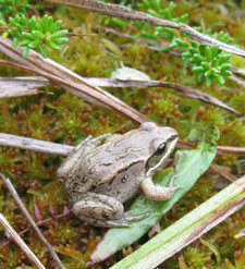 Photo of a wood frog