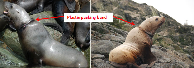 Illustration of plastic packing bands around necks of sea lions