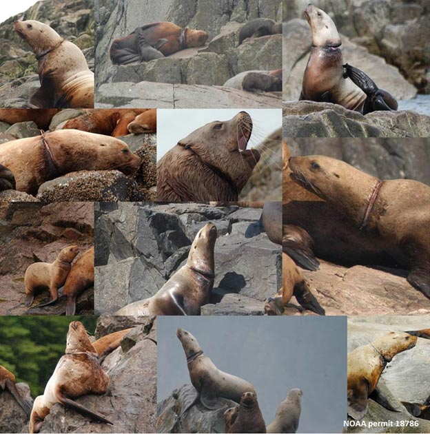 Entangled sea lions collage