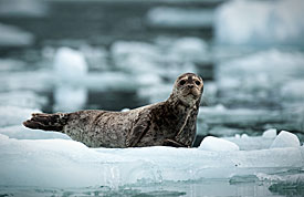 Harbor seal on a small iceberg