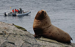 Steller sea lion and researchers