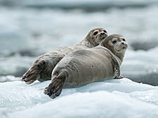 Two seals lying on the ice